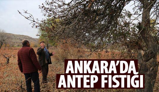Ankaralı çiftçi Antep fıstığı üretecek