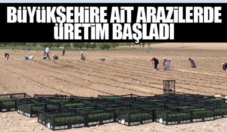 Büyükşehire ait arazilerde üretim başladı!