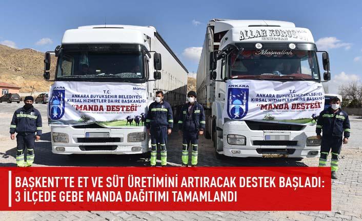 Başkent'te et ve süt üretimini artıracak destek başladı: 3 ilçede gebe manda dağıtımı tamamlandı